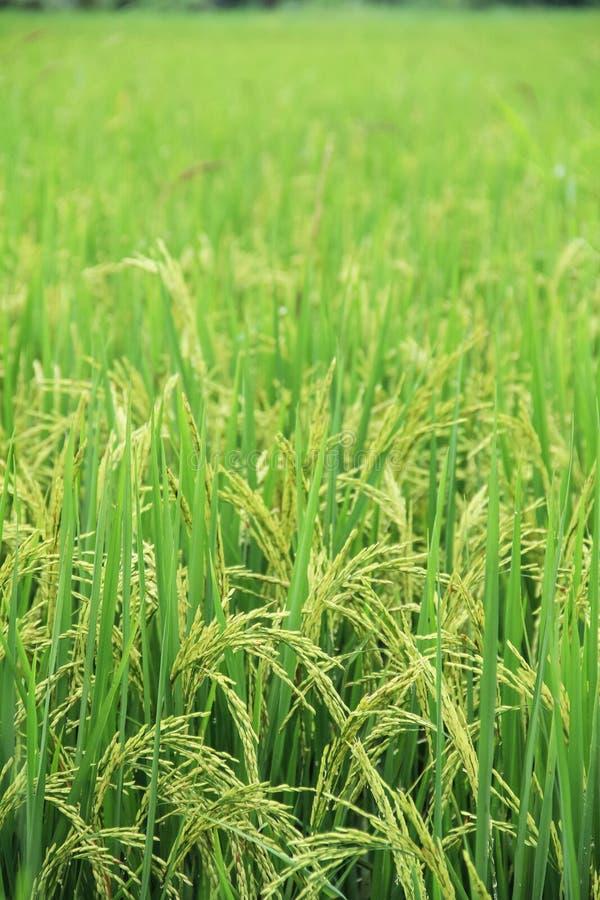 Zone verte de riz photo stock