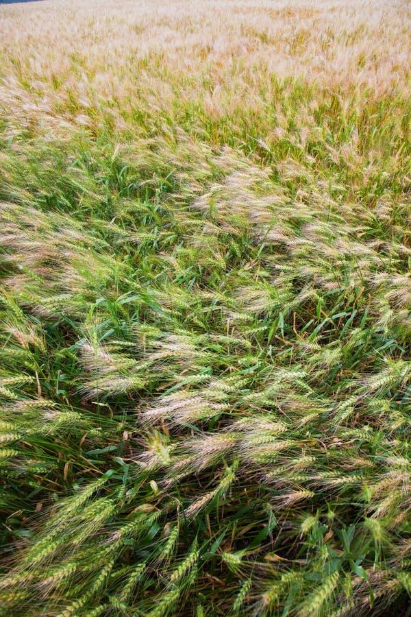 Zone Wheaten image stock