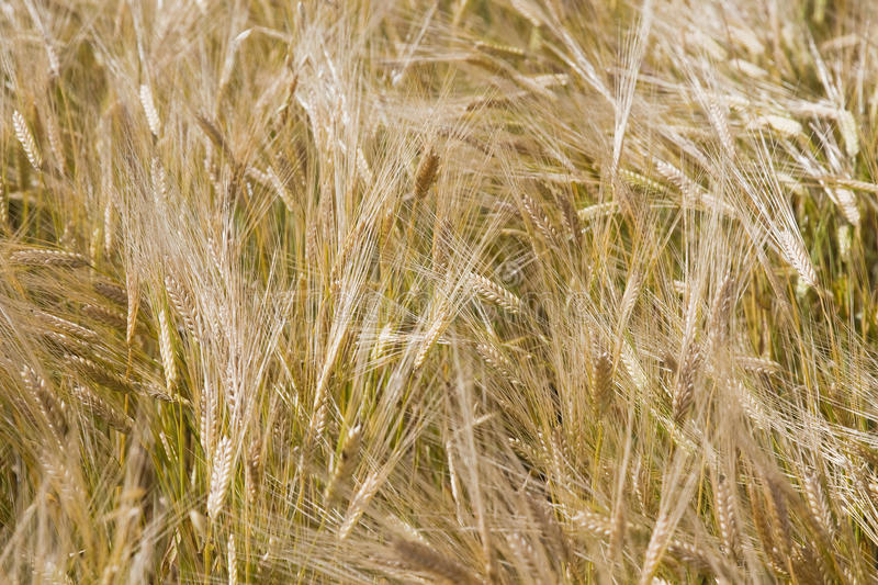 Zone Wheaten photo stock