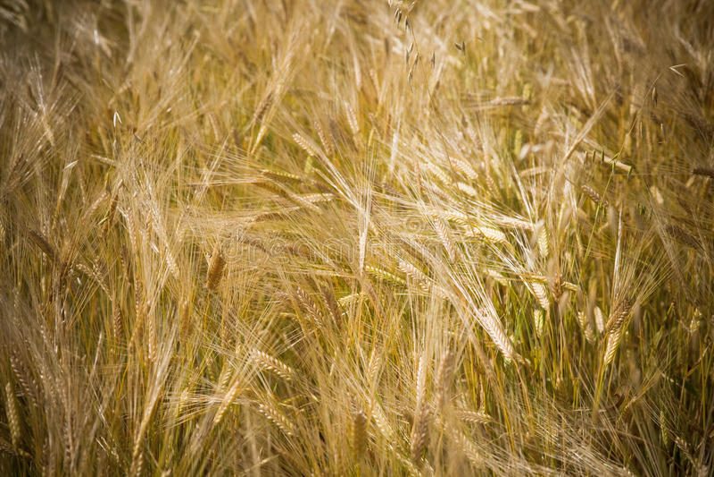 Zone Wheaten photo libre de droits