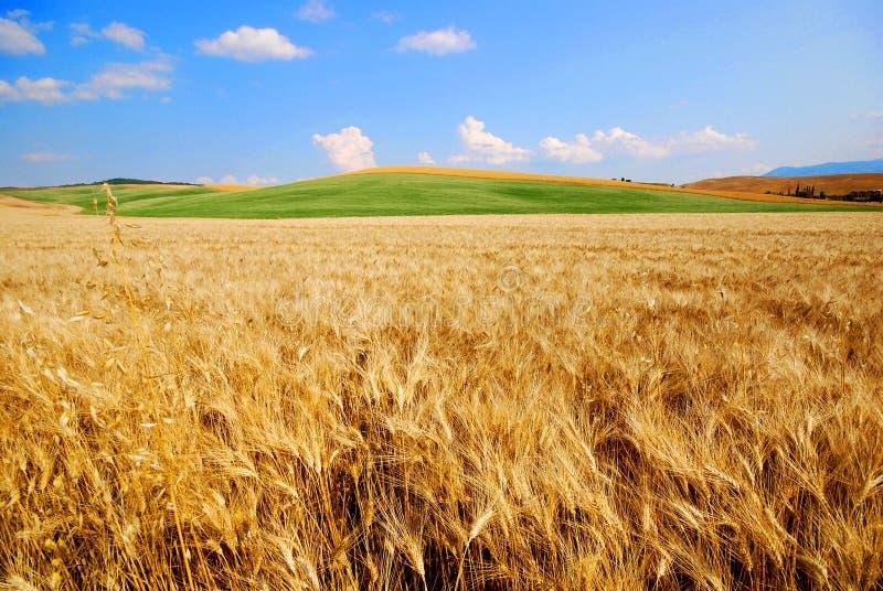 Zones de blé photos stock