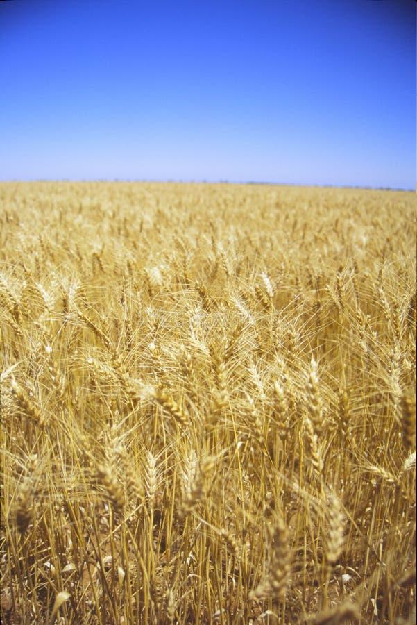 Zones de blé d'or image libre de droits