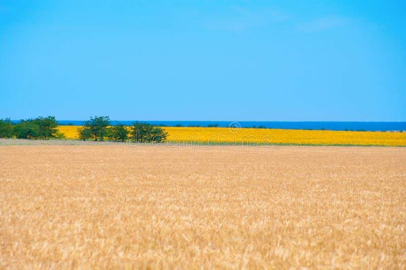 Zones de blé et de tournesol photographie stock libre de droits