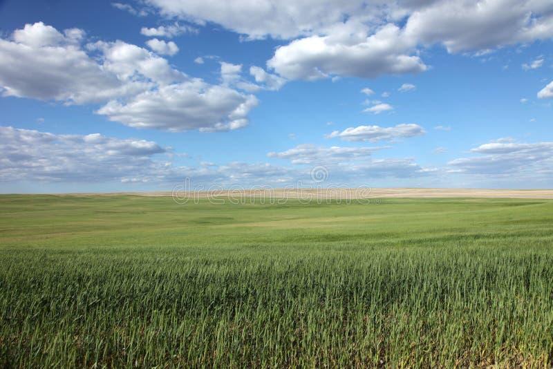Zones de blé vertes photos stock
