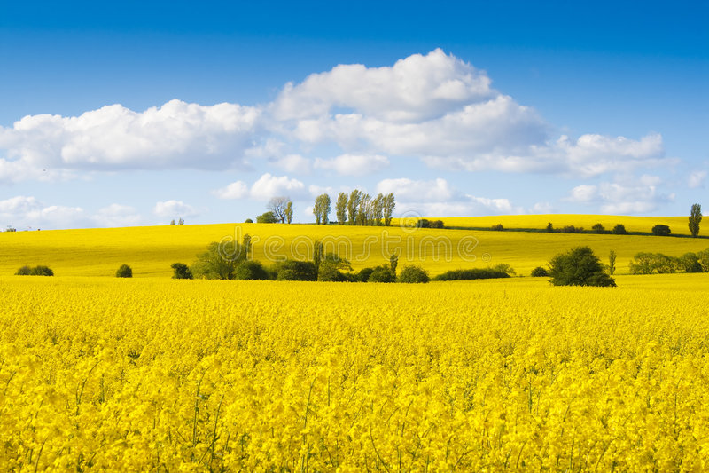 Zones des fleurs jaunes lumineuses de graine de colza photos libres de droits