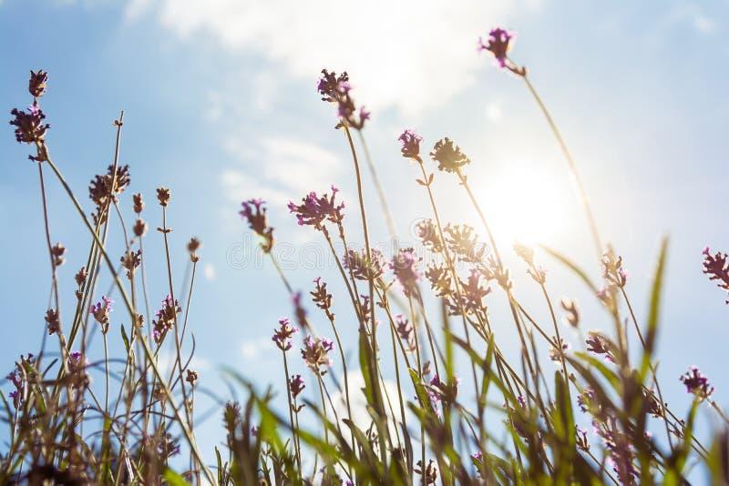 Zongloed door de Purpere Blauwe Hemel van Lavendar Plants Summer Season stock fotografie