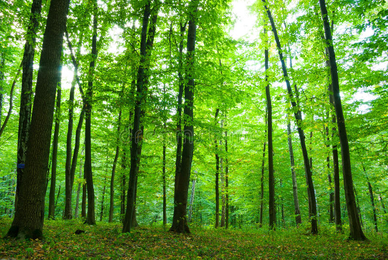 Zonlicht in bos stock afbeelding