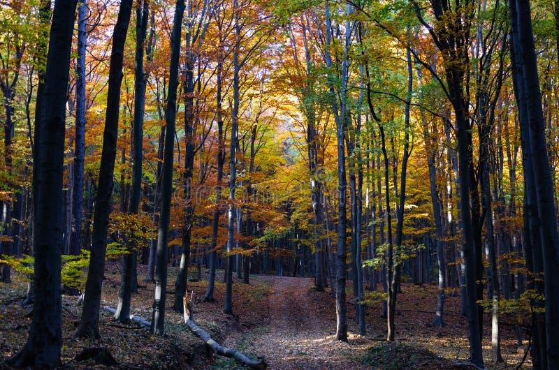 Zonlicht in de herfstbos stock fotografie