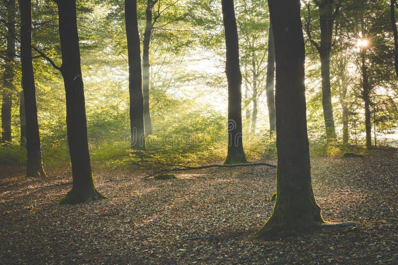 Zonlicht die door kalm de herfstbos in Amerongen vallen royalty-vrije stock afbeelding