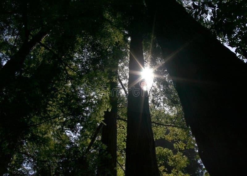 Zonlicht door Californische sequoia's stock foto's