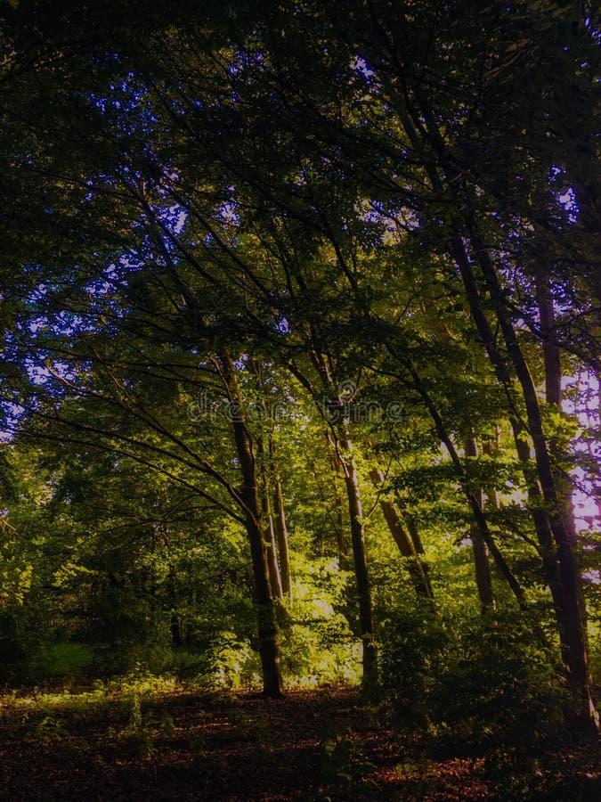 Zonlicht door de bomen stock foto