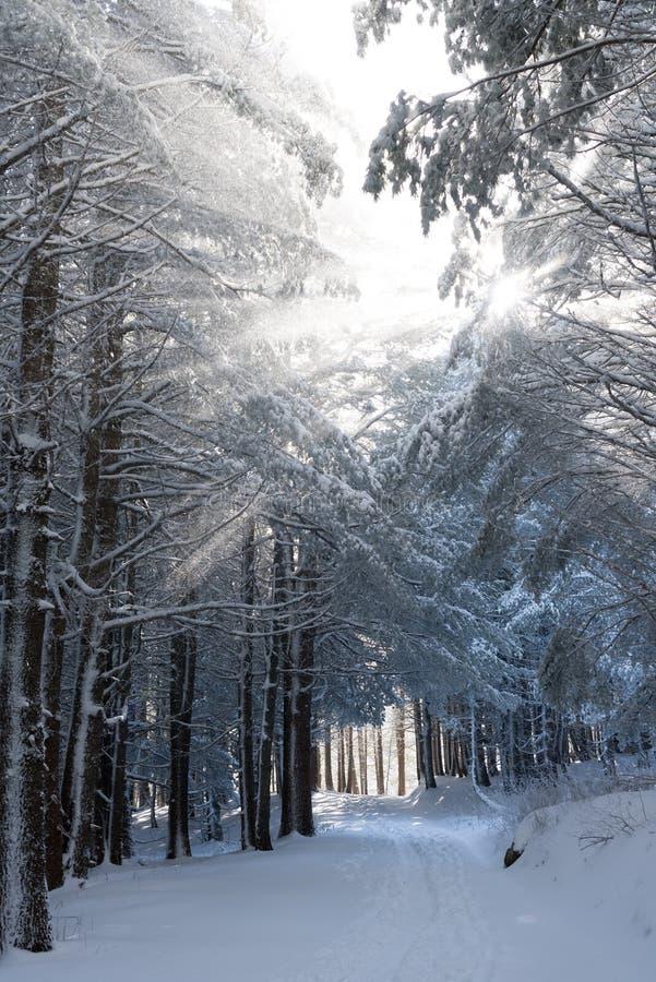 Zonlicht door sneeuw behandelde bomen in zeer koude dag stock afbeelding