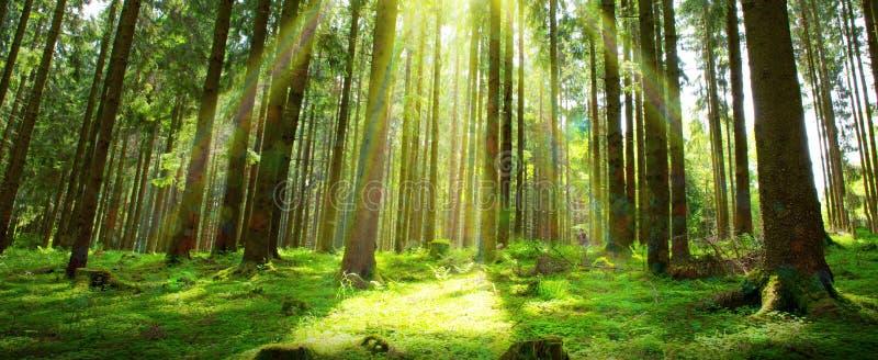 Zonlicht op de aardachtergrond van Duitsland Forest Spring stock afbeeldingen