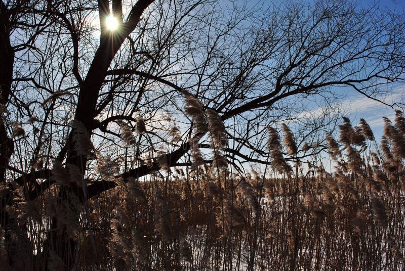 Zonlicht over boomsilhouet, riet, blauwe hemel met wolken stock fotografie