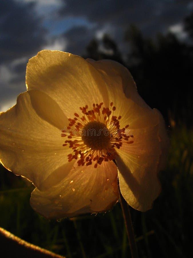 Zonne bloem stock fotografie