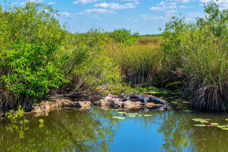 Zonnebadende Alligator in Everglades Florida de V.S. stock afbeeldingen