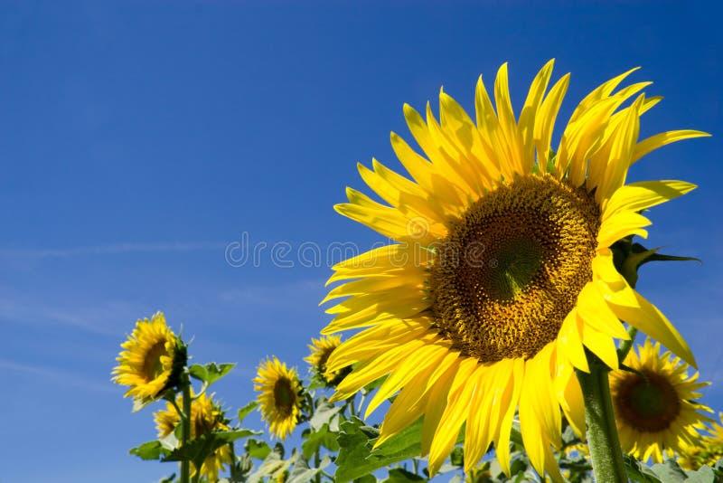 Zonnebloem stock afbeeldingen
