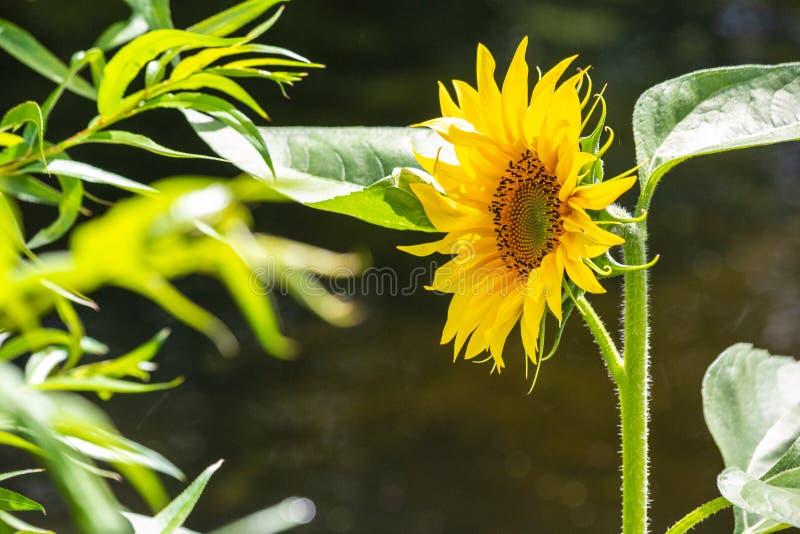 Zonnebloem bij de rand van een meer in een park van Londen in de zomer royalty-vrije stock foto's