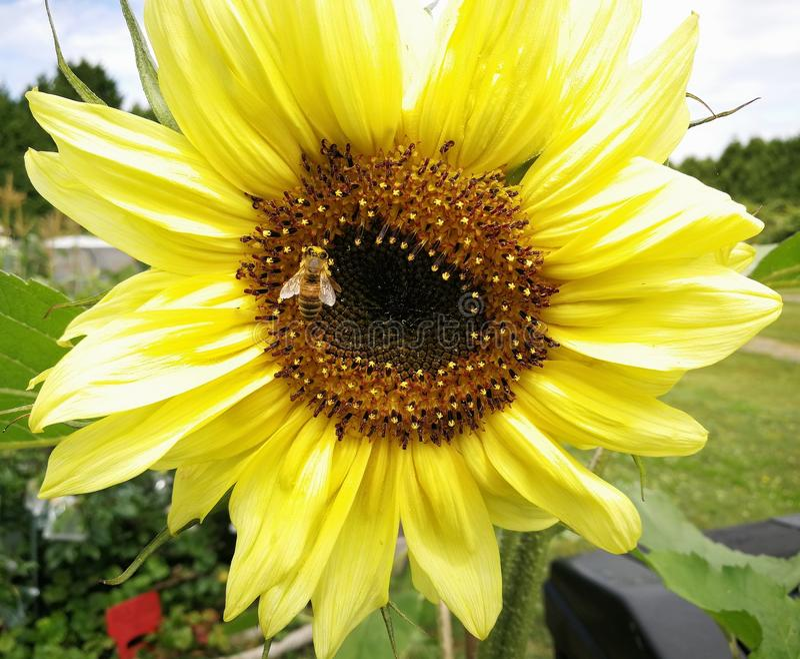Zonnebloem, bij die, bij een nectar van een gele zonnebloem verzamelen stock foto's