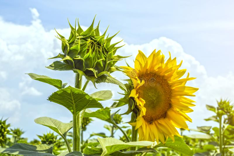 Zonnebloem in de fase van de vorming van GLB, op het gebied, op een zonnige dag stock afbeeldingen