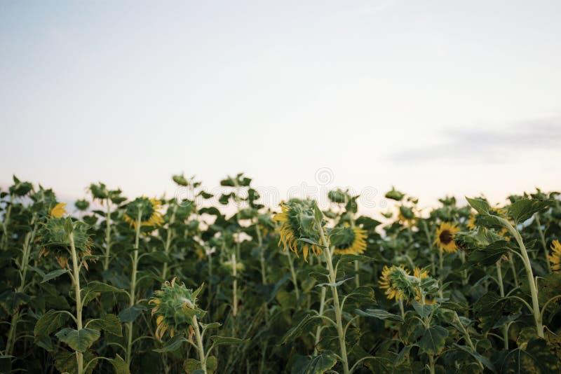 Zonnebloem in de lucht royalty-vrije stock foto