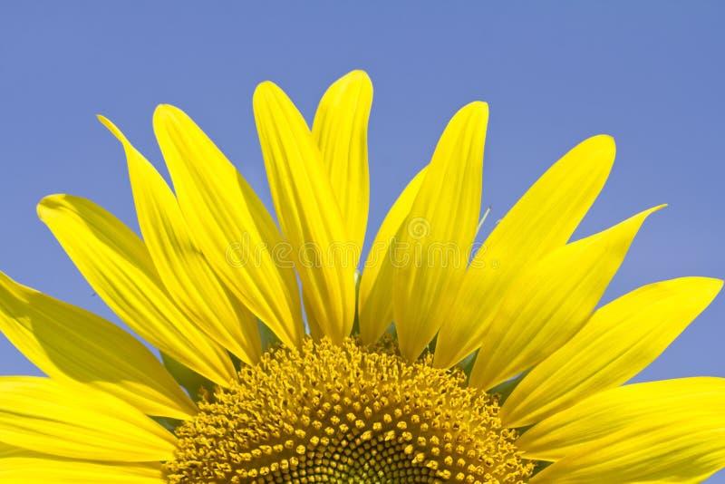 Zonnebloem in de zomer royalty-vrije stock afbeelding