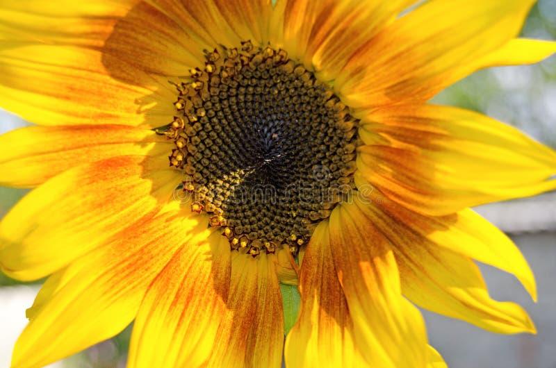 Zonnebloem in de zomer Bloeiende installaties stock foto's