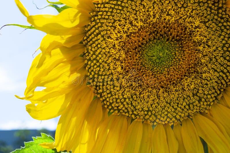 Zonnebloem dichte omhooggaand tegen de hemel royalty-vrije stock fotografie