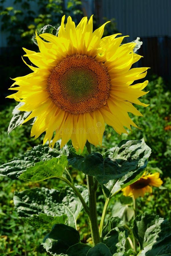 Zonnebloem dichte omhooggaand tegen de hemel stock afbeelding