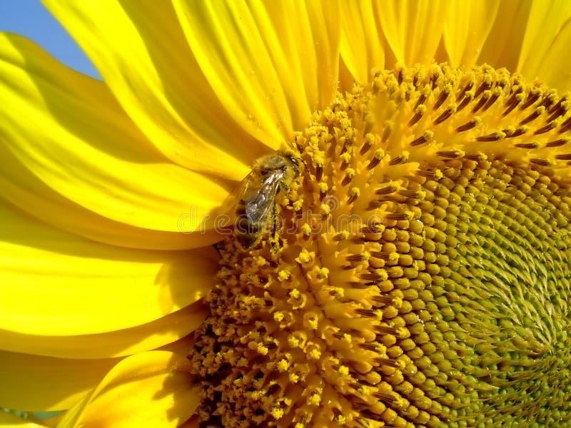 Zonnebloem die door een hommel wordt bezocht royalty-vrije stock afbeelding