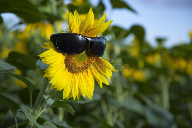 Zonnebloem draagt een zonnebril op het achtergrondveld van Blue Sky stock afbeeldingen
