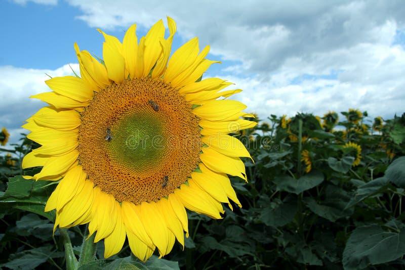 Zonnebloem en bijen royalty-vrije stock foto