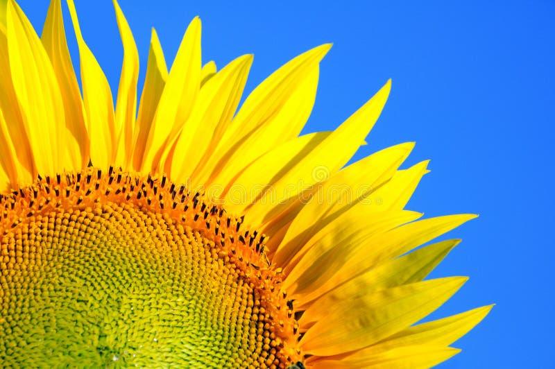 Zonnebloem en blauwe hemel stock foto's