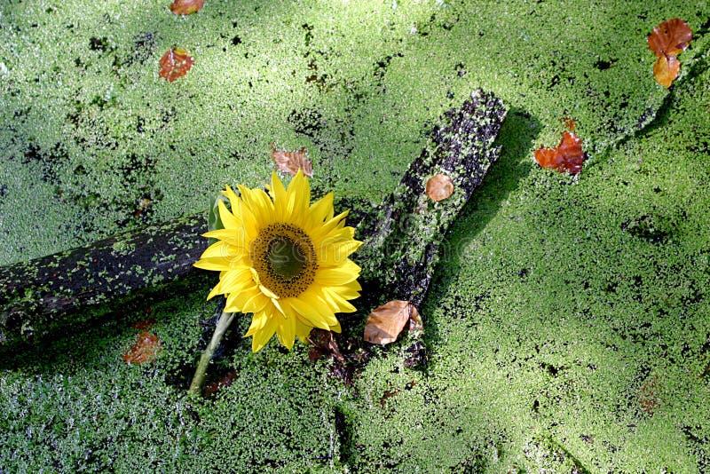 Zonnebloem en eendekroos stock afbeeldingen