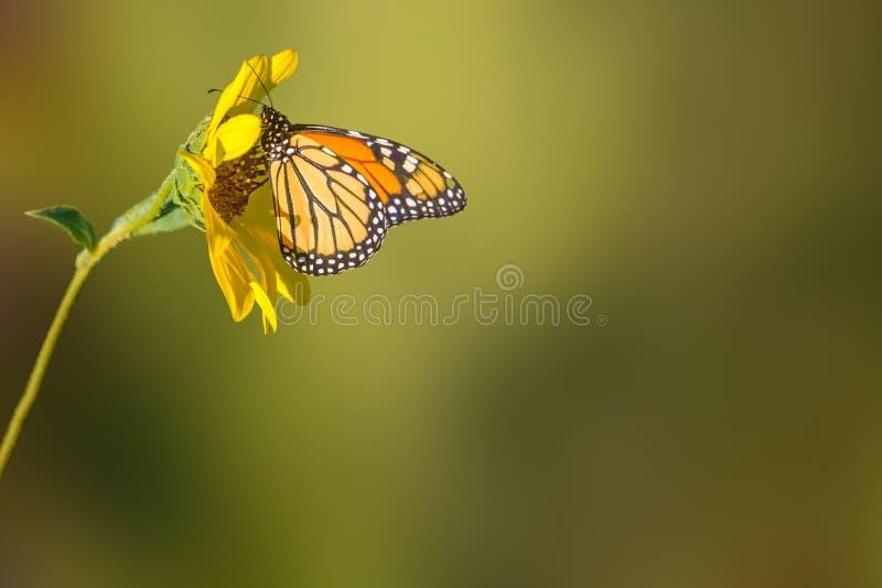 Zonnebloem en Monarchvlinder stock foto