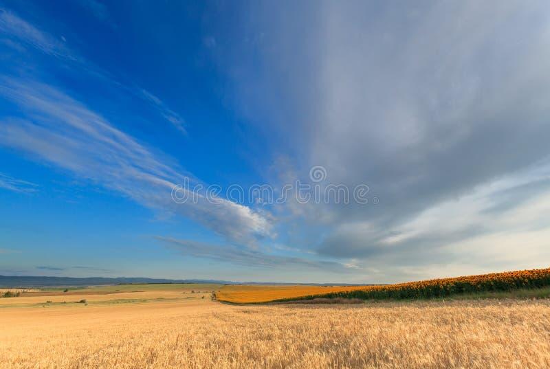 Zonnebloem en tarwe stock afbeelding