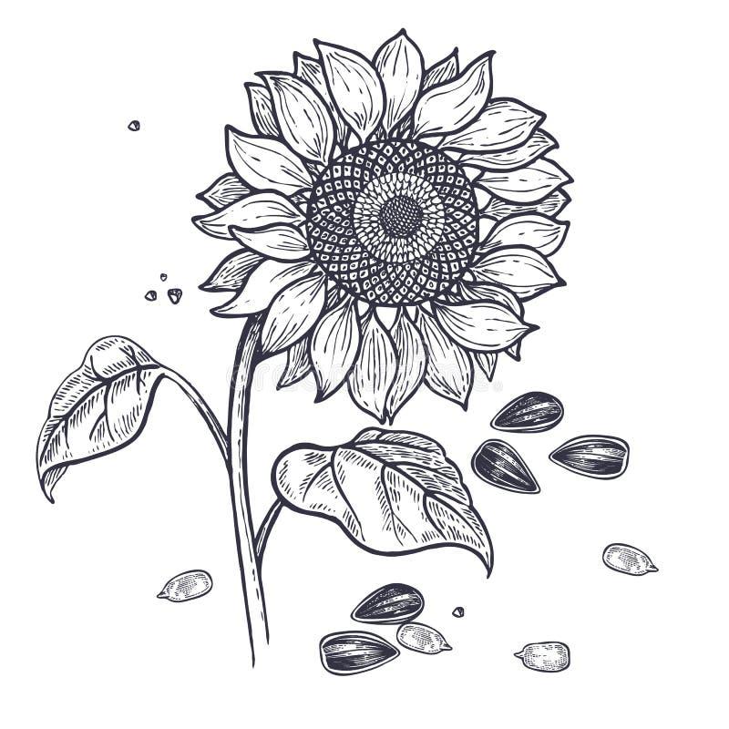 Zonnebloem en zaden uitstekende gravure vector illustratie