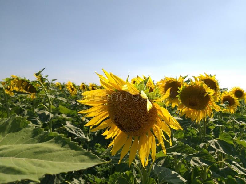 Zonnebloem geel op gebied, de verfherfst stock foto