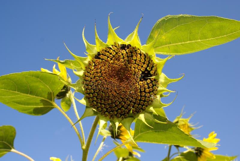 Zonnebloem (Helianthus) stock afbeeldingen
