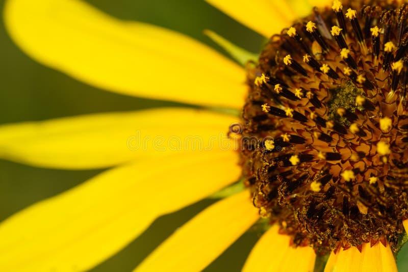 Zonnebloem - Helianthus-petiolaris royalty-vrije stock foto