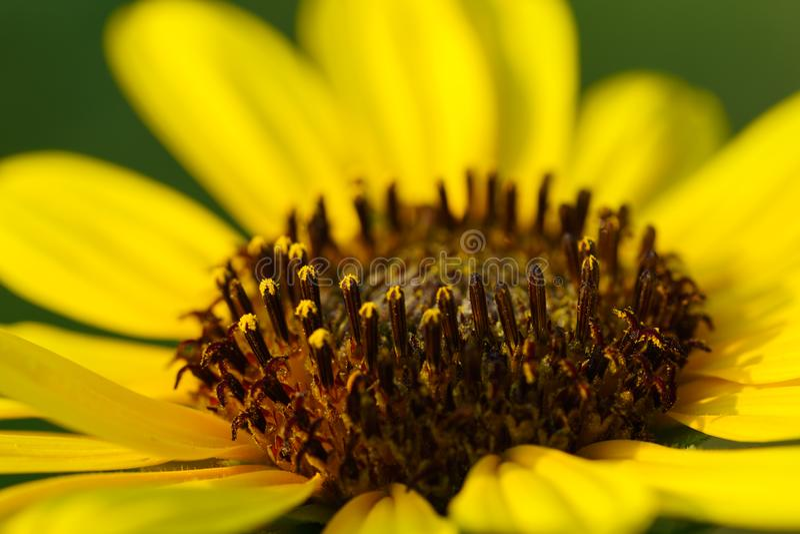 Zonnebloem - Helianthus-petiolaris stock fotografie