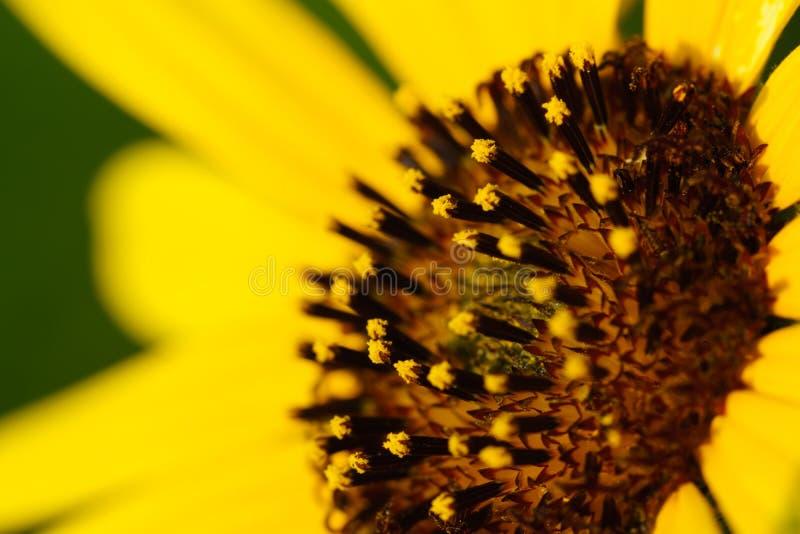 Zonnebloem - Helianthus-petiolaris royalty-vrije stock afbeelding