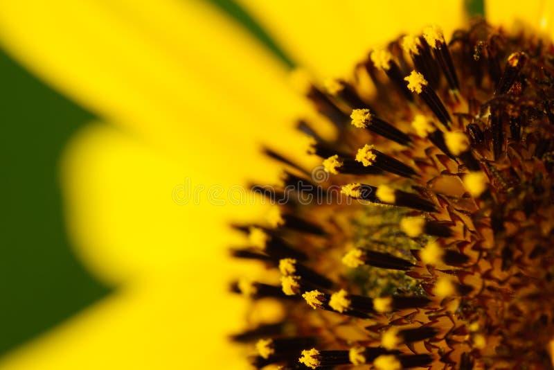 Zonnebloem - Helianthus-petiolaris stock foto