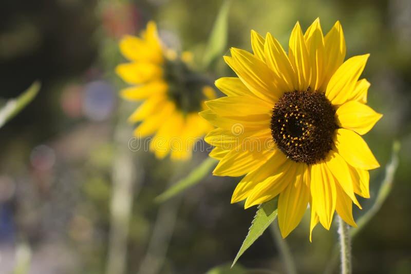 Zonnebloem het bloeien Zonnebloementuin royalty-vrije stock fotografie