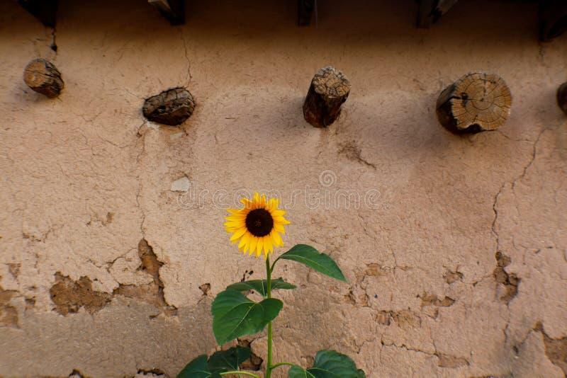 Zonnebloem het groeien tegen gipspleistermuur in Taos New Mexico royalty-vrije stock foto
