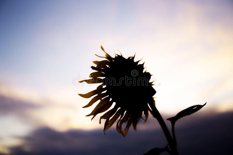 Zonnebloem in het veld bij zonsondergang stock foto's