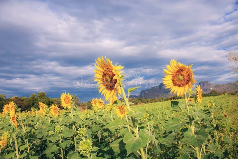 Zonnebloem in het veld met de wolk royalty-vrije stock foto's