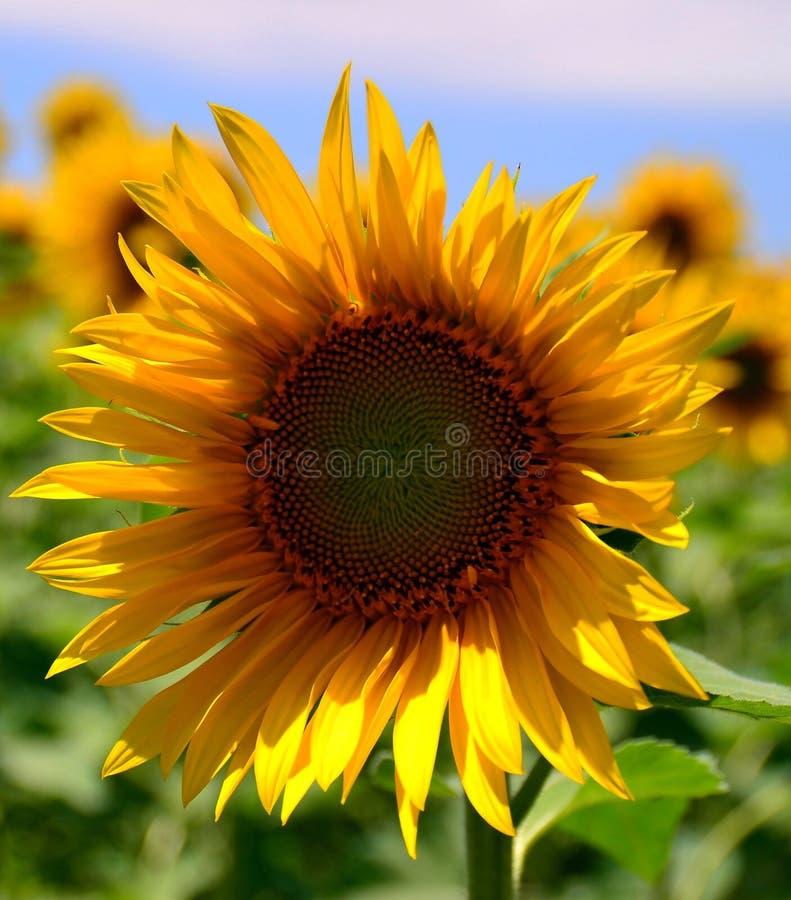 Zonnebloem in Italië stock afbeeldingen