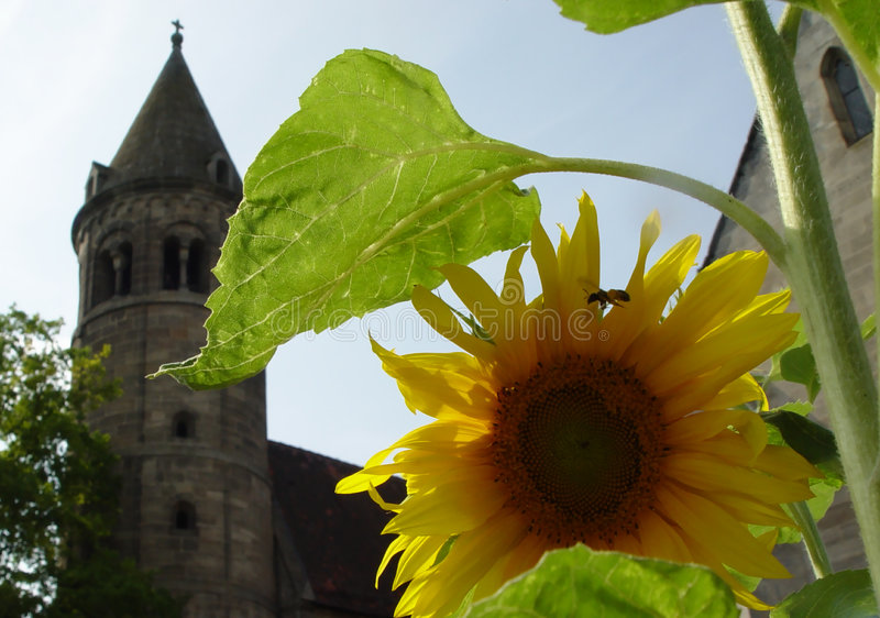 zonnebloem in klooster stock foto's