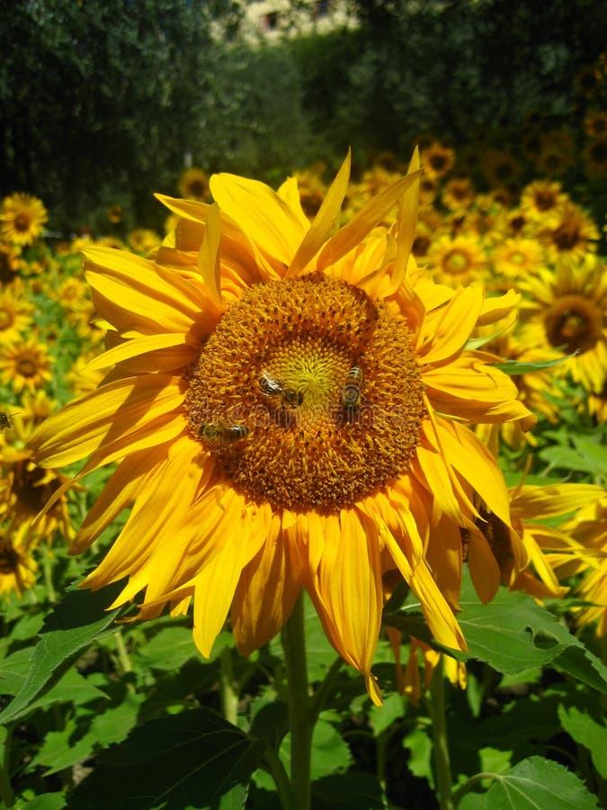 Zonnebloem met bijen stock afbeeldingen